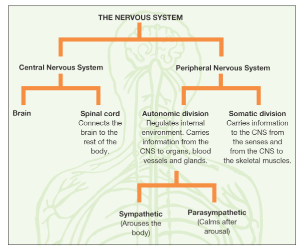 Demystifying the nervous system and fight or flight response ccuart Gallery